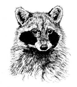 Drawn racoon black and white