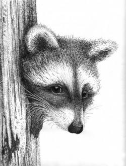 Drawn racoon pen and ink