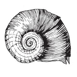 Drawn shell snail shell