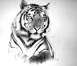 Drawn pen tiger