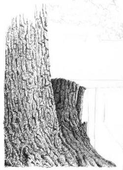Drawn tree tree bark