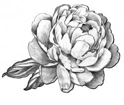 Drawn peony black and white