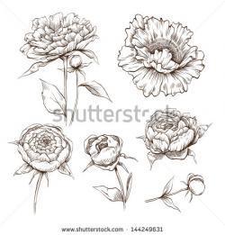 Drawn peony illustration