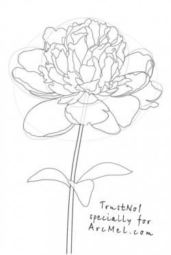 Drawn peony line drawing