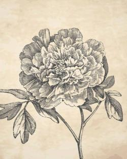Drawn peony old fashioned flower