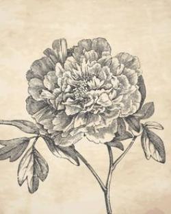 Drawn peony vintage floral