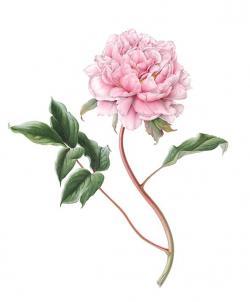 Drawn peony vintage rose