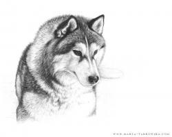 Drawn husky pencil drawing