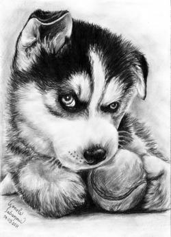 Drawn husky adorable