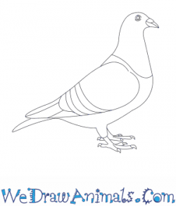 Drawn pigeon
