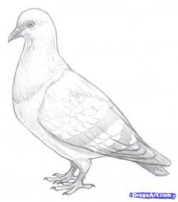 Drawn pigeon pencil sketch