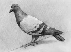 Drawn pigeon art