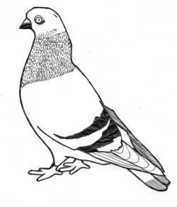 Drawn pidgeons head