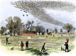 Drawn pidgeons passenger pigeon