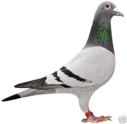 Drawn pidgeons racing pigeon