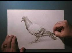 Drawn pidgeons realistic