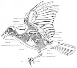 Drawn crow anatomy