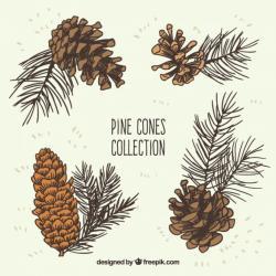 Drawn fir tree white pine cone
