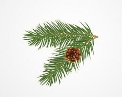 Drawn fir tree pine needle