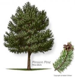 Drawn fir tree longleaf pine