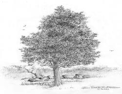 Drawn pine tree holly tree