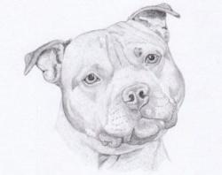 Drawn pit bull staffordshire bull terrier
