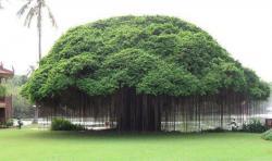 Banyan Tree clipart indian national