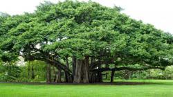 Banyan Tree clipart hindi