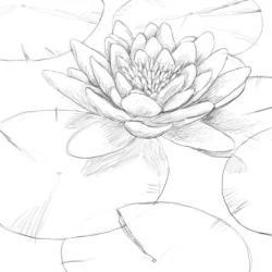 Drawn pond lily pond