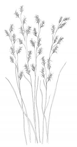 Drawn grass prairie grass