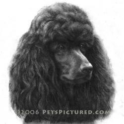 Drawn poodle black