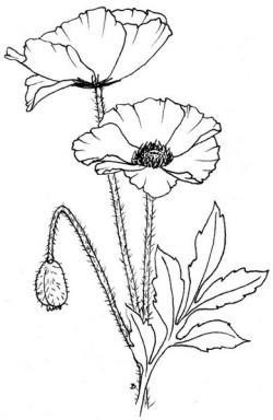 Drawn poppy line drawing