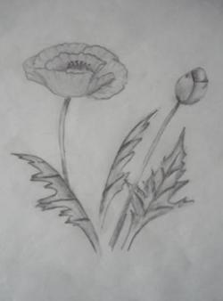 Drawn poppy pencil step by step