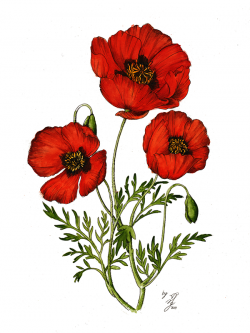 Drawn poppy red poppy