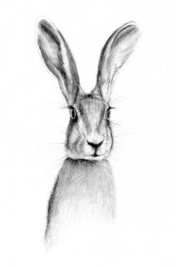 Drawn rabbit hare