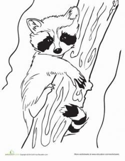 Drawn raccoon color