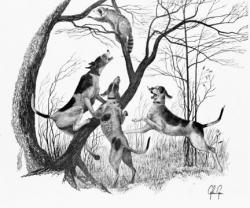 Drawn raccoon coon hunting