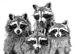 Drawn raccoon pen and ink