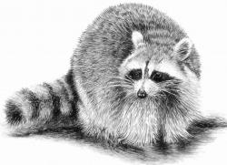 Drawn racoon draw a