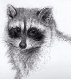 Drawn raccoon pencil