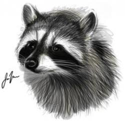Drawn racoon realistic