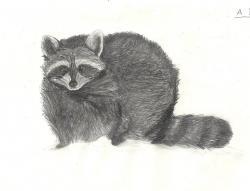 Drawn raccoon realistic