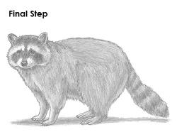 Drawn racoon sketch