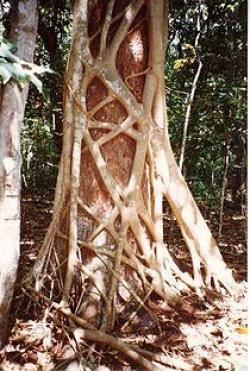 Drawn rainforest strangler fig