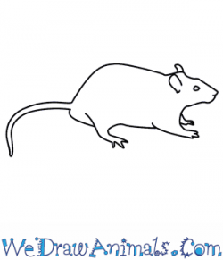 Drawn rat