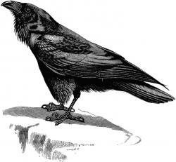 Blackbird clipart raven
