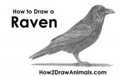 Drawn crow raven