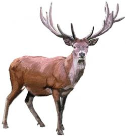 Drawn stag spotted deer
