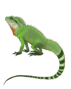 Drawn lizard chinese water dragon