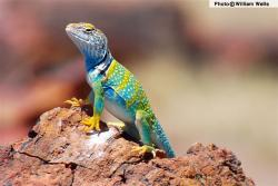 Drawn reptile collared lizard